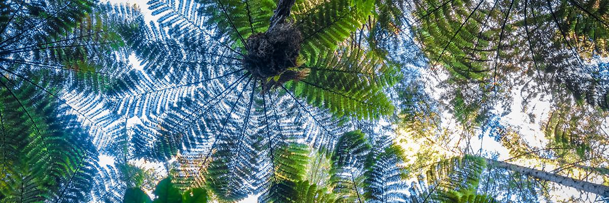 Looking up at tree fern canopies silhouetted against the sky, Whakarewarewa Redwood Forest, Rotorua